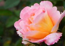 Rose | Foto: Martin Krauß