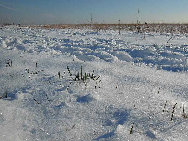 Ein weites Schneefeld auf dem vereinzelt Gräser die Schneedecke durchbrechen