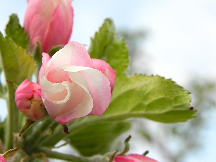 Apfelblüte geschlossen, Foto: Martin Krauß