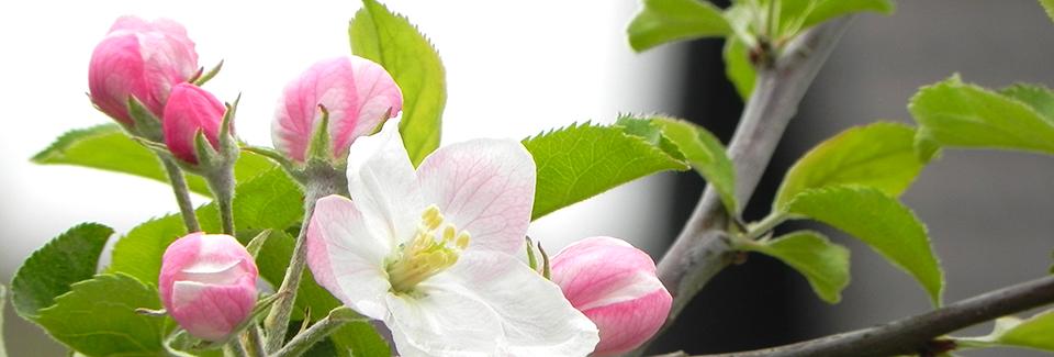 Apfelblüte | Foto: Martin Krauß