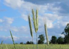 Ähren im Wind: Ernte