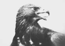 Adler (Quelle: Martin Krauß)